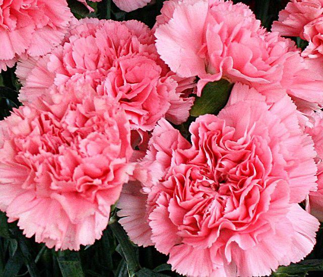 hoa cẩm chướng đẹp tuyệt vời