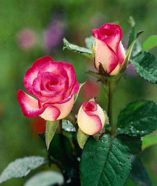 hoa hồng song hỷ 3 bông đẹp
