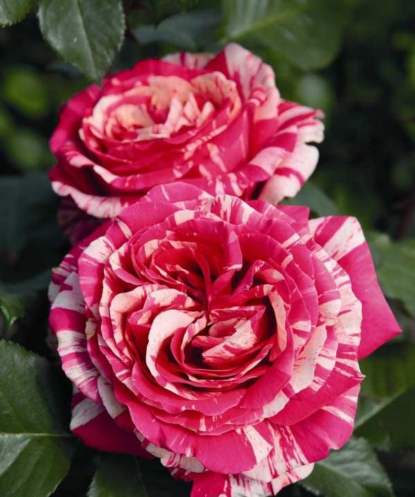 hồng song hỷ đỏ nồng nàn đam mê