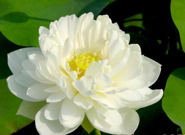 Hoa sen đẹp - Hoa Vily
