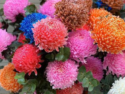 Ấn tượng với hoa cúc mẫu đơn tuyệt đẹp