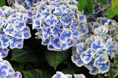 Bạn có biết về biểu tượng của hoa cẩm tú cầu?