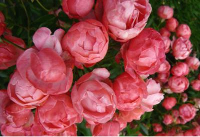 Bạn đã biết đến loài hoa hồng baby tuyệt đẹp?
