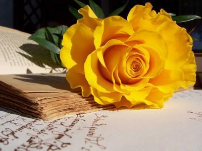 Bật mí sự tích hoa hồng vàng