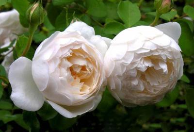 """Bí kíp """"thần thánh"""" giúp chọn giống hoa hồng trắng trồng tại nhà tuyệt đẹp!"""