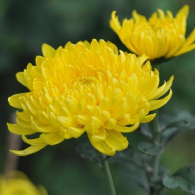 Các loại hoa chưng bàn thờ ngày Tết bạn đã biết?