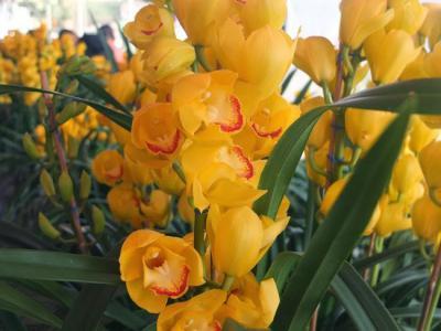 Các loại hoa địa lan ở Việt Nam