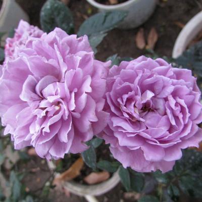 Cách trồng và chăm sóc hoa hồng tím tại nhà