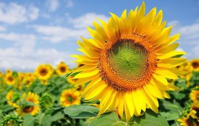 Câu chuyện xoay quanh về loài hoa hướng dương