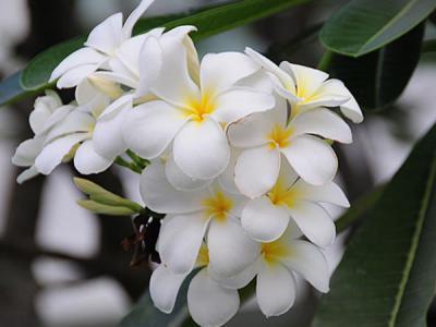Cây hoa sứ trắng có đặc điểm gì và ý nghĩa ra sao?