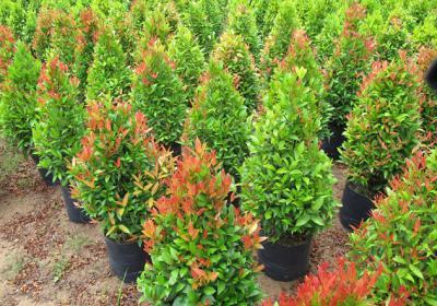 Cây hồng lộc – cây xanh trồng cảnh quan
