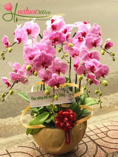 Chậu hoa lan hồ điệp hồng - Hạnh phúc lứa đôi
