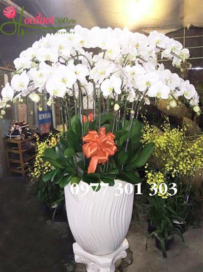 Chậu hoa lan hồ điệp trắng đẹp