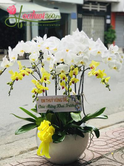 Chậu hoa lan hồ điệp trắng vàng - Thành công phát đạt