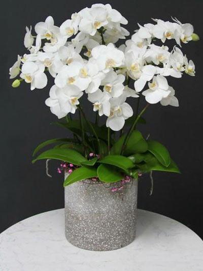 Chậu lan hồ điệp trắng- Sự phồn hoa
