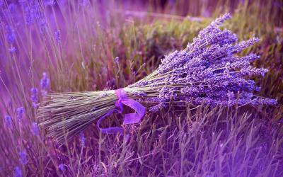 Chuyện tình buồn bên cánh đồng hoa oải hương