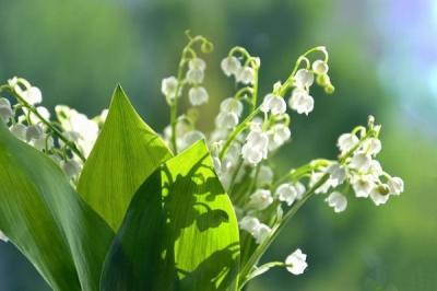 Cùng khám phá những điều bạn chưa biết về hoa linh lan