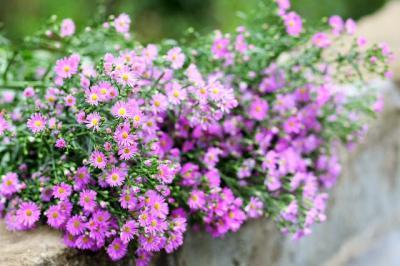 Đi tìm sự tích loài hoa thạch thảo