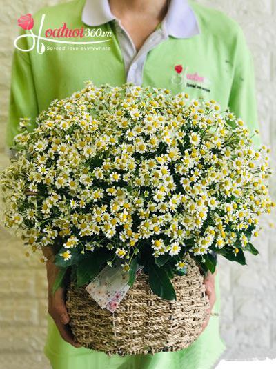 Giỏ hoa cúc tana - Dịu dàng