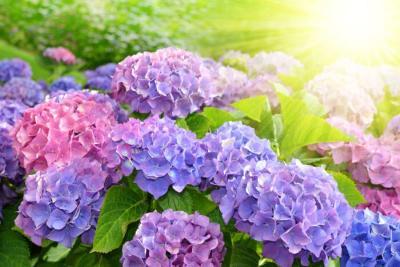 Hoa cẩm tú cầu giá bao nhiêu? Địa chỉ mua hoa giá rẻ và chất lượng