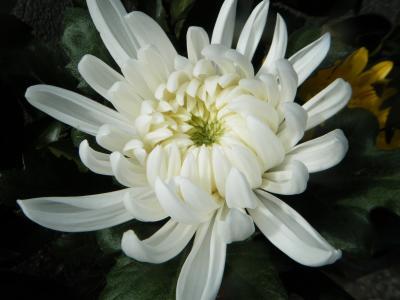 Hoa cúc trắng_Hoa của lòng hiếu thảo