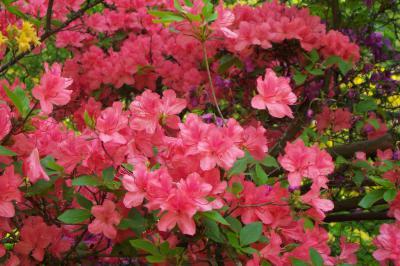 Hoa đỗ quyên và những điều bạn chưa biết