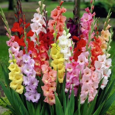 Hoa lay ơn và những điều thú vị bạn chưa biết