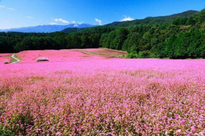 Hoa tam giác mạch và ý nghĩa loài hoa có sức lôi cuốn kì diệu