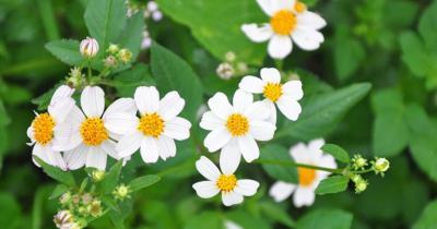 Hoa xuyến chi | Công dụng ít ai ngờ của loài cây dại bên vệ đường