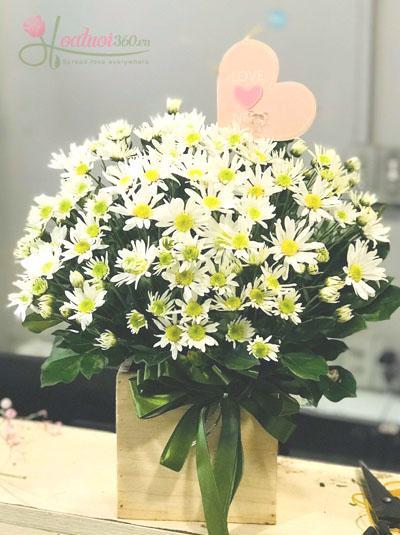 Hộp hoa cúc họa mi - Đáng yêu