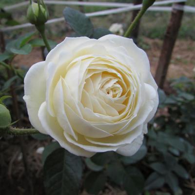 Khám phá ý nghĩa hoa hồng trắng - nét đẹp thuần khiết!!