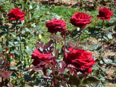 Kỹ thuật trồng và chăm sóc hoa hồng nhung đúng cách