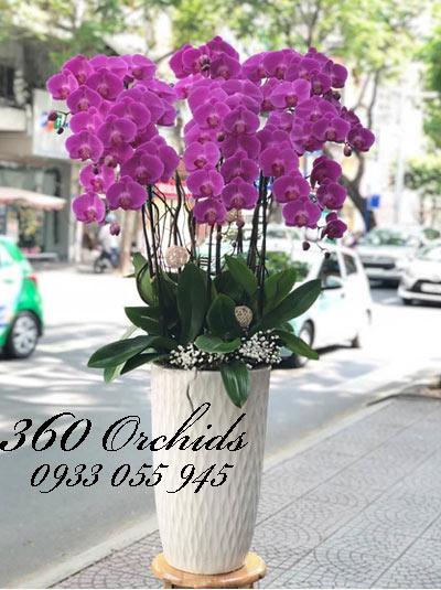 Ngất ngây với vẻ đẹp huyền bí của hoa lan hồ điệp tím