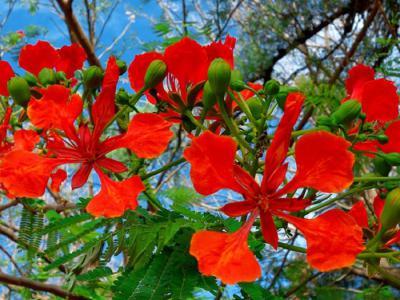 Phượng vĩ – loài hoa gắn liền với kỉ niệm thời học sinh