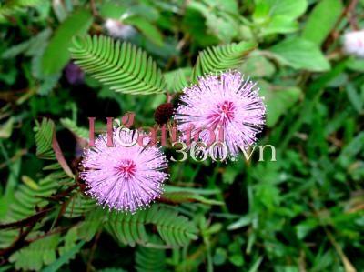 Sự tích loài hoa mang tên Trinh Nữ
