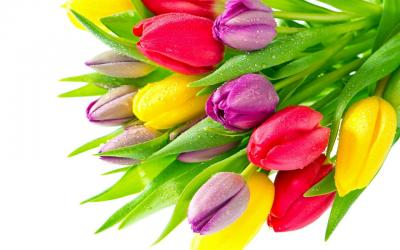 Sự tích về hoa tulip