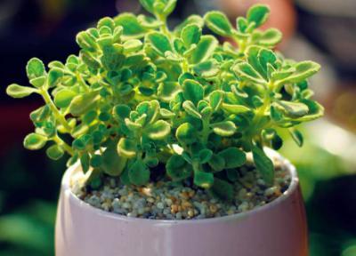 Tìm hiểu về loài cây phong thủy để bàn nhất mạt hương