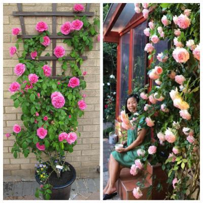 Top 10 giống hoa hồng leo cực đẹp trồng quanh nhà!