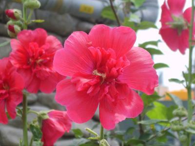Truyền thuyết sớm nở tối tàn của hoa phù dung │Hoa tươi 360