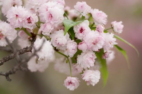 Hoa anh đào - Loài hoa biểu trưng cho sự mạnh mẽ