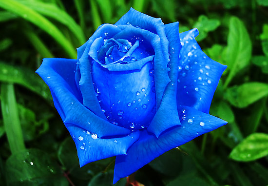 Hoa-hong-xanh-loai-hoa-mang-y-nghia-cua-su-manh-me