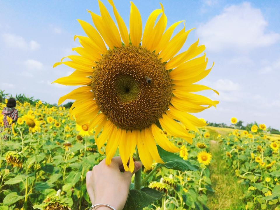 Hoa hướng dương biểu tượng của sự mạnh mẽ