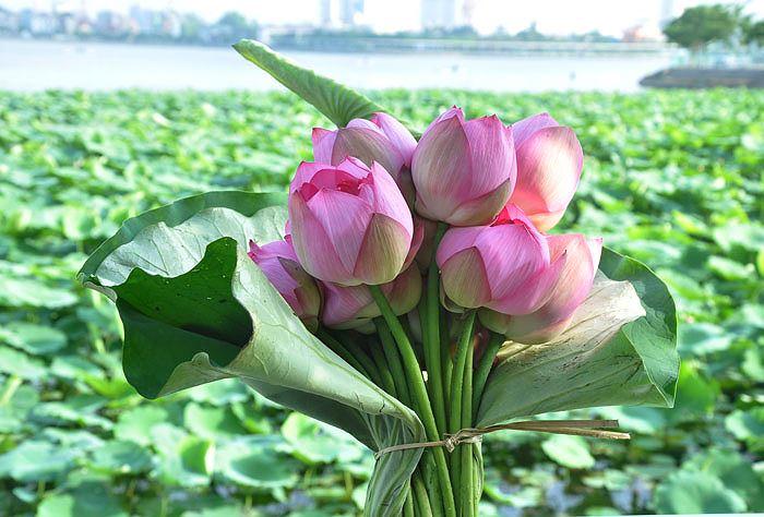 Hoa sen tượng trưng cho sự mạnh mẽ