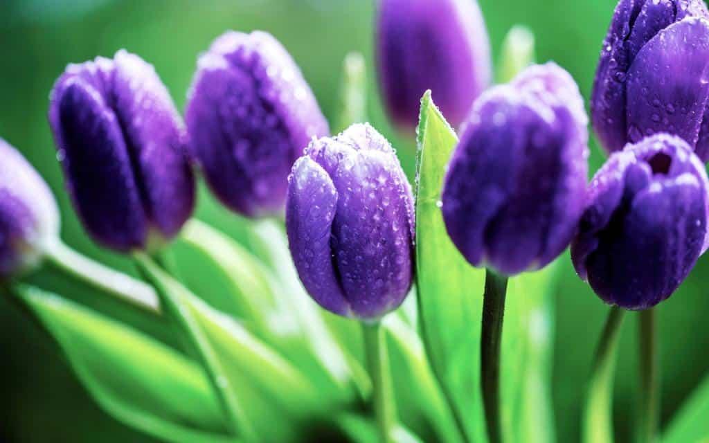 Hoa Tulip - Loài hoa mang ý nghĩa của sự mạnh mẽ