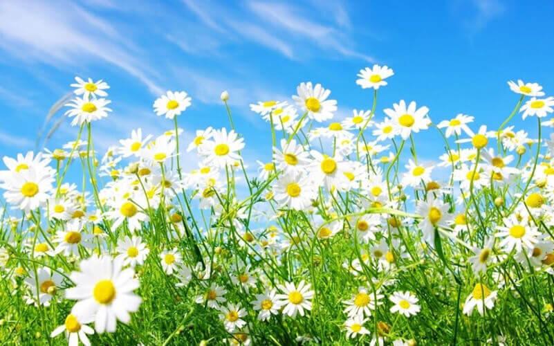 Hoa cúc dại mang một ý nghĩa vô cùng quý báu trong cuộc sông