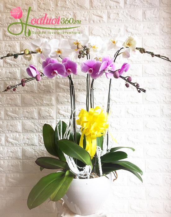 Hoa lan hồ điệp tết