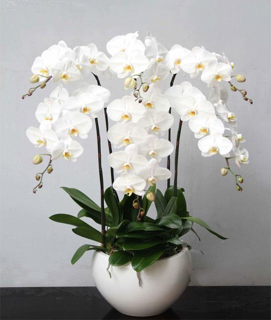 hoa lan hồ điệp tết phát tài lộc dành cho ngày tết