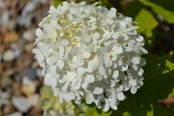 Hoa cẩm tú cầu trắng cực đẹp