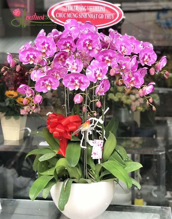 Chậu lan hồ điệp màu tím hồng đẹp nhất