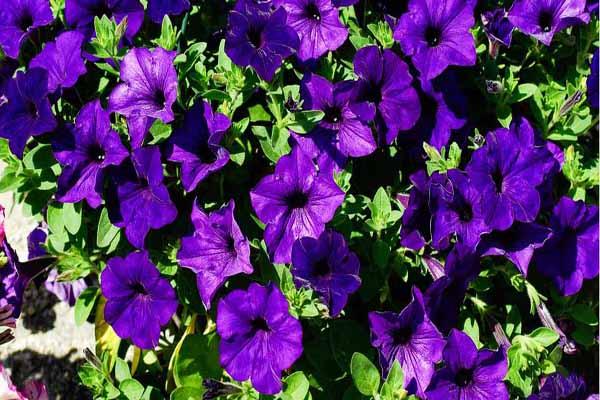 Hoa màu tím đẹp ngỡ ngàng